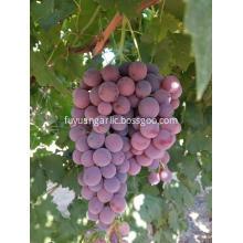 2019 new crop Xinjiang grape with good price