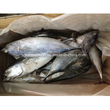 IQF Bonito Fish for Market