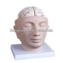 ГОРЯЧАЯ голова 2013 года с головной моделью мозговой артерии