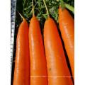 Suntoday hybride de légumes assortis scientifiques de noms pour planter des plants de légumes biologiques acheter des semences de carottes en ligne (51003)