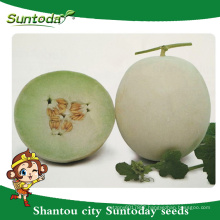 Suntoday white rind with yellow colour green flesh japanese vegetable hybrid F1 melon seeds high times seeds for sale(18015)