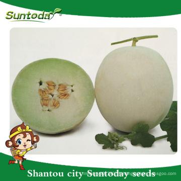 Suntoday blanc croûte de couleur jaune vert chair hybride végétale japonaise F1 graines de melon graines de haute saison à vendre (18015)