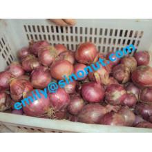 Bonne qualité Oignon rouge frais 5-7cm