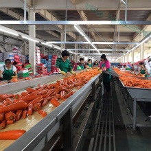 Wholesale Fresh Carrots of New Crop