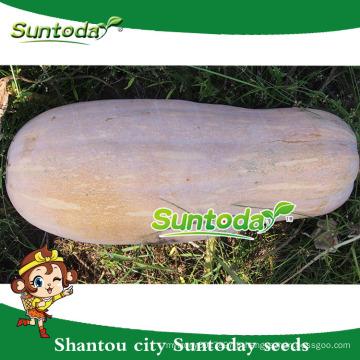 Suntoday gestion facile graines de citrouille douce graines thaïlande havester brillent peau grains gws (19005)