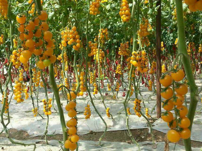 Yellow Cherry Tomato Seeds