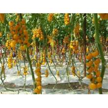 Elliptical f1 mixed yellow cherry tomato seeds