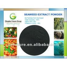 Pó de extrato de algas marinhas frescas de algas marrons Sargasso