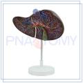 ПНТ-0472 высокое качество реалистичные печени модель горячей продажи на линии