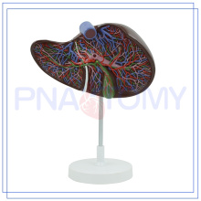 PNT-0472 high quality realistic liver model hot sale on line