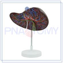 PNT-0472 Modelo anatômico de fígado com baixo MOQ MOQ para uso doméstico