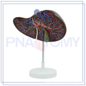 ПНТ-0472 увеличенная модель человеческой печени