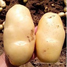 2015 nuevos cultivos de papa fresca