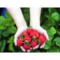 IQF Freezing Organic Strawberry HS-16090908