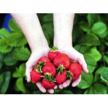 IQF congelant la fraise organique HS-16090908