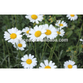 pyrethrum powder,Pyrethrum insecticide,pyrethrum extract