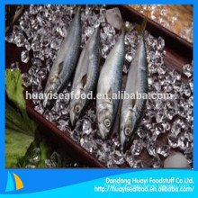 100% de peso líquido popular congelado peixe cavala rodada inteira