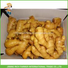 Légumes frais Gingembre chinois Gingembre frais