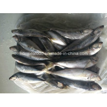 Japanese Jack Mackerel Fish for Sale (22cm+)