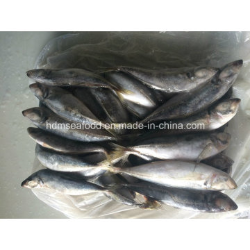 Японская рыба-скумбрия для продажи (22см +)