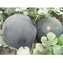 HW20 Jinjin grosses graines de pastèque hybride F1 mondial noir pour la plantation