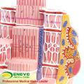 HEART19(12494) Skeletal Muscle Fibers Anatomical Medical Science Teaching Model
