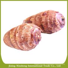 Taro de buena calidad exportador