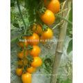 TY01 Huangzuan овальной формы гибрид F1 желтый помидоры Черри семена