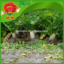 Legumes frescos Radish certificado orgânico grande rabanete branco