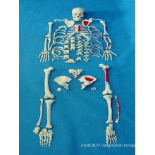 High Quality Medical Anatomy Body Skeleton Parts Model (R020109)