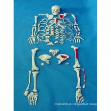 Modelo médico de alta qualidade da anatomia do corpo de esqueleto corporal (R020109)