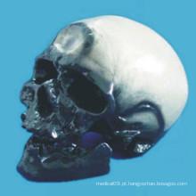 Crommen Ann Human Skull Brain Anatomical Model