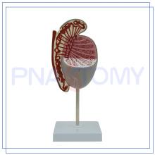 PNT-0578 modelo de testículo humano agrandado