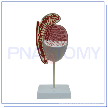 PNT-0578 enlarged human testis model