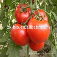 pe de tomate de alta calidad 100% natural