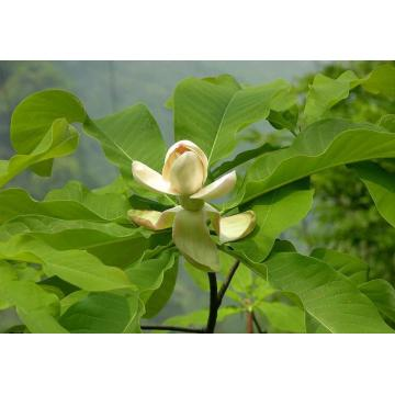 Magnolia Bark Extract Honokiol