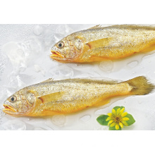 Fresh frozen yellow croaker