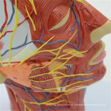 Exquisitos modelos cerebrales de plástico humano Techinical