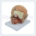 PNT-1632 lebensgroßes menschliches Gehirnmodell