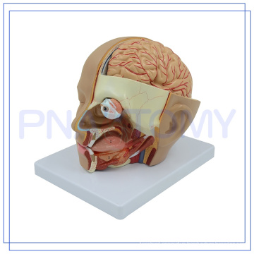 PNT-1632 brain model FOR human