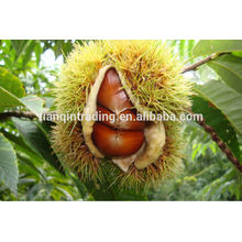 Chinese chestnut factory Taian