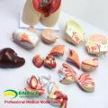 TUNK анатомии 12014 туловище 16 частей 45см среднего размера двойного пола анатомических органов человека торс модель