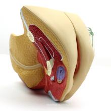 ANATOMY08 (12446) Modèle anatomique de la section pelvienne de la taille de la femme, 4 parties, modèles d'anatomie> Modèles de bassin> Femme