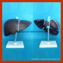 Modèle médical du foie humain pour l'enseignement