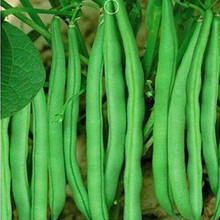 Light green beans seeds in vegetable seeds