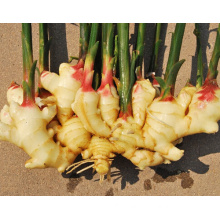 Shandong Factory Yellow Ginger