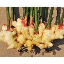 Shandong Factory Yellow Ginger