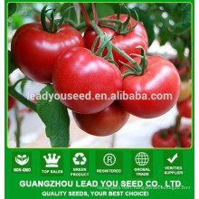 NT241 Zisi best hybrid tomato seeds for sale
