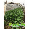 Suntoday scientific names of vegetables F1 Organic water plant extract organic russian in india bulgaria coriander seed(A43001)