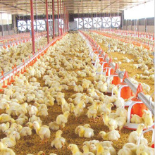Automatic Poultry Farm Equipment for Chicken Production